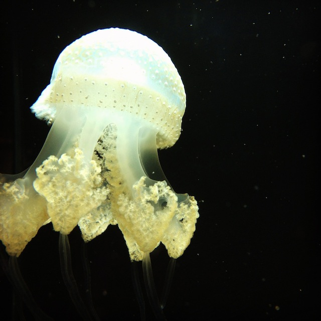 This is a jellyfish. Image by Natania Barron, CC BY SA 3.0.
